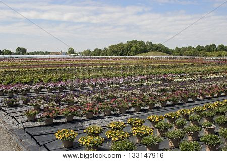 Outdoor greenhouse growing rows of beautiful flower pots.