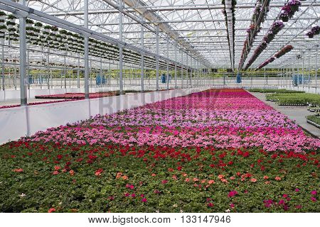Greenhouse growing rows and beautiful colorful flowers.