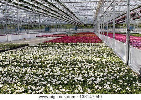 Greenhouse growing flowers for sale to nurseries.