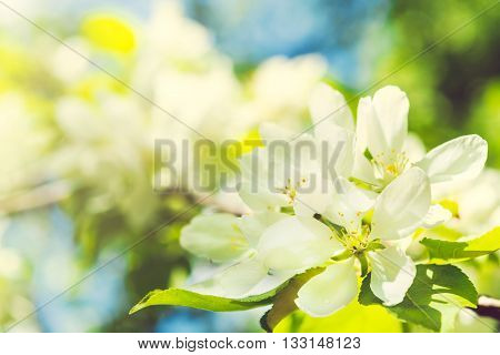 Beautiful Apple Tree Branch With Sun. Beautiful Spring Blooming Tree, Gentle White Flowers On Green