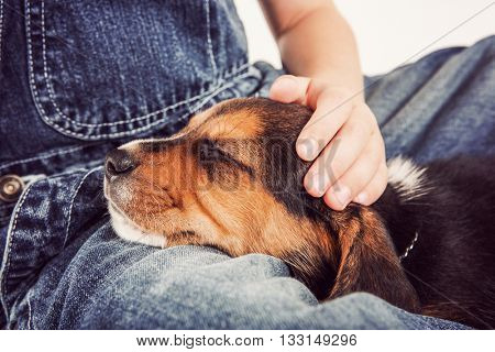 Young child petting a sleeping beagle puppy