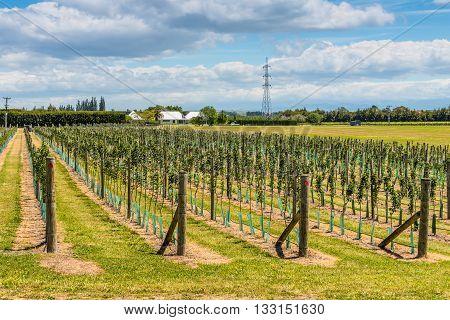 Napier New Zealand - November 19 2014: Seedlings of fruit trees in rows on the farm plantation near Napier North Island New Zealand