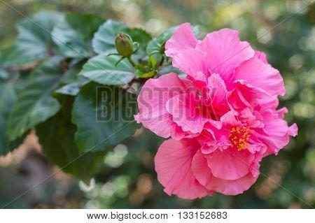 Hibiscus flower so beautiful in nature .