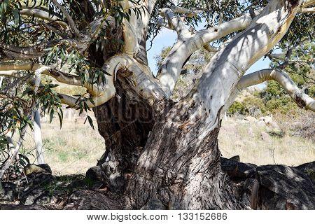 Alpine 'Snow Gum' in Australia's Snowy Mountains region