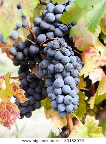 blue grape in harvesting time
