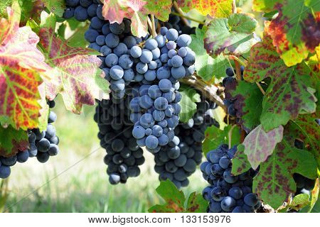 blue grape in harvesting time