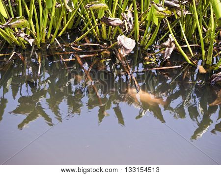 """""""Red Tilapia"""" fish under the Water hyacinth"""