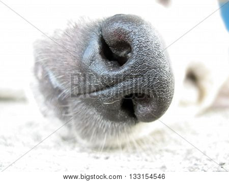 close up nose of white dog and sleeping