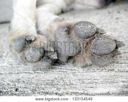 Closeup of dirty dog's paw with dry mud on cement texture