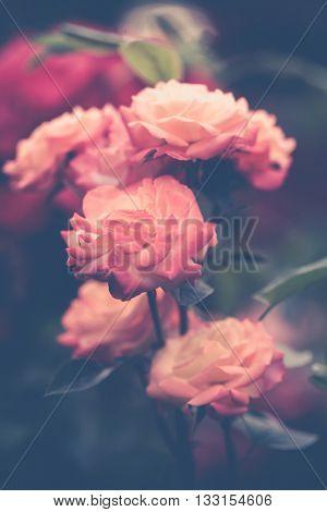 beautiful pink garden roses background closeup shallow depth of field