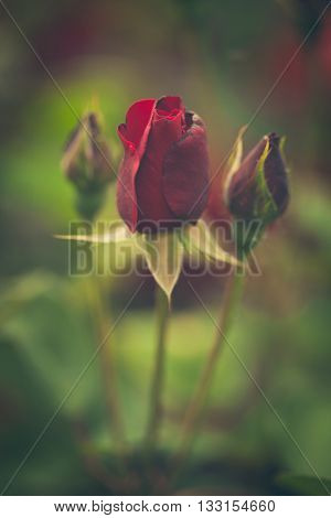 beautiful red garden roses background closeup shallow depth of field
