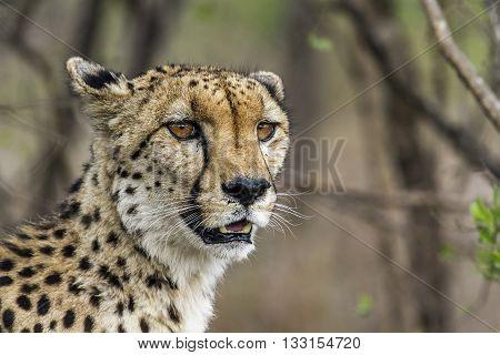 Specie Acinonyx jubatus family of felidae, cheetah resting in the bush in Kruger park