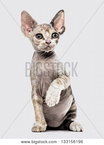 Devon Rex kitten on hind legs, pawing up and looking away, isolated on white