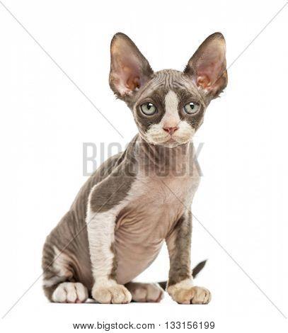 Devon Rex kitten isolated on white