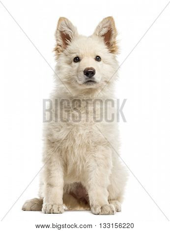 White Swiss Shepherd puppy isolated on white