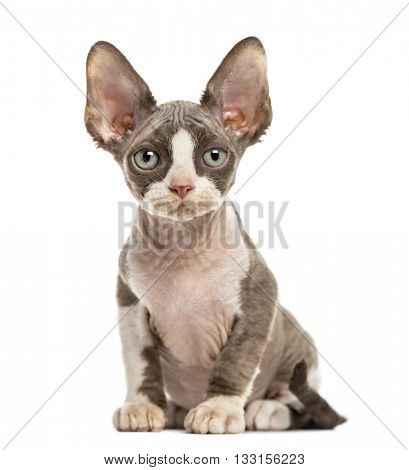Devon Rex kitten looking at the camera, isolated on white