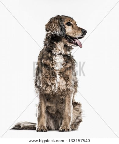 Crossbreed dog sticking the tongue out, isolated on white