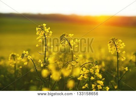 Rapeseed field in sunset