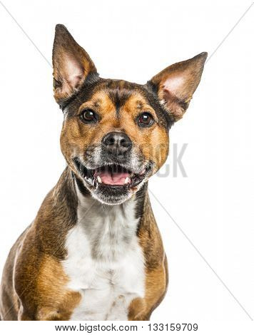 Close-up of a Crossbreed dog between a french Bulldog and a Rottweiller looking at the camera, sticking the tongue out, isolated on white
