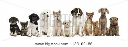 Group of puppies in a row, isolated on white