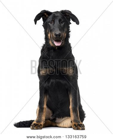 Beauceron puppy looking at the camera and sitting, isolated on white