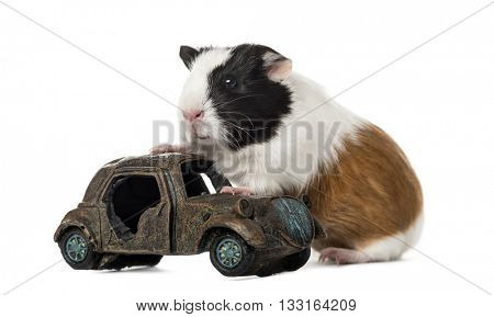 Guinea pig, cavia porcellus, climbing on a car, isolated on white