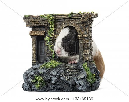 Guinea pig, cavia porcellus, behind a castle, isolated on white