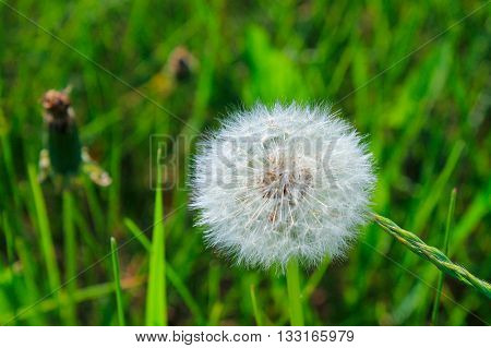Dandelion - a symbol of rebirth, the promise that, despite the loss, life goes on. That everything will be good again.
