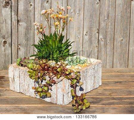 Stonecrop Plants In A Wooden Flower Pot.