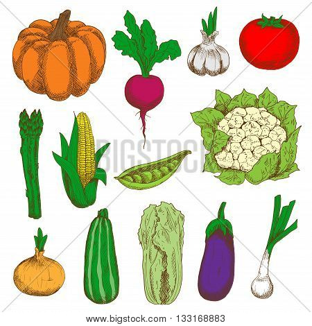 Ripe and fresh tomato, eggplant, onions and pumpkin, sweet corn and peas, garlic, zucchini and beet, cauliflower, asparagus and chinese cabbage vegetables colored sketch icons. Organic farming design
