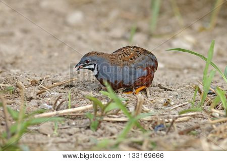 King quail Button Quail Blue-breasted quail Male Eating