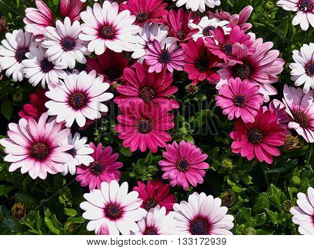 Blooming beautiful Pink and white gerbera daisy flowers in a summer garden