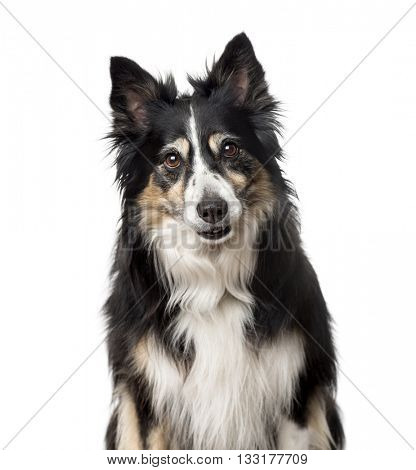 Close-up of a Border Collie looking at the camera, isolated on white