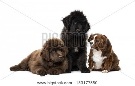 Group of Cavalier King Charles Spaniel and Newfoundland looking away and sitting, isolated on white