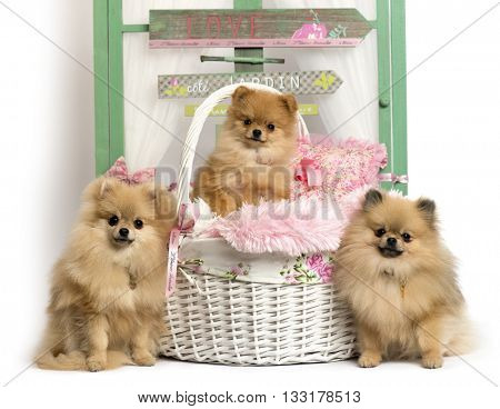 Group of German Spitz sitting in front of a rustic background