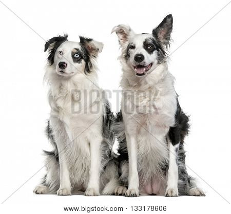 Couple of a Border Collie sitting, isolated on white