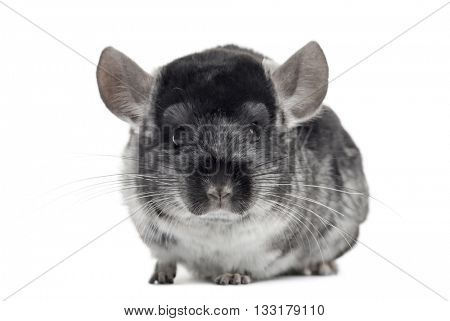 Chinchilla looking at the camera, isolated on white