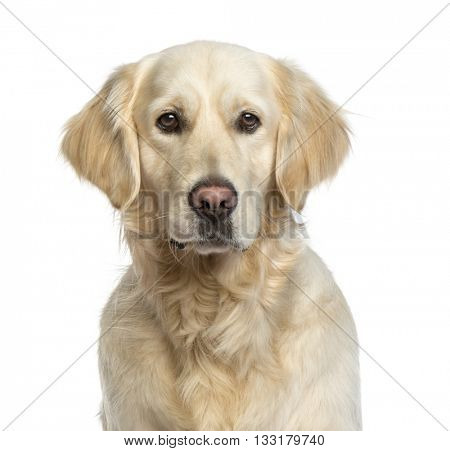 Close up of a Golden Retriever isolated on white