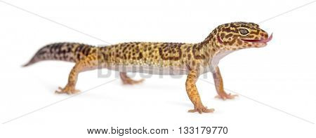 Leopard Gecko standing up, isolated on white