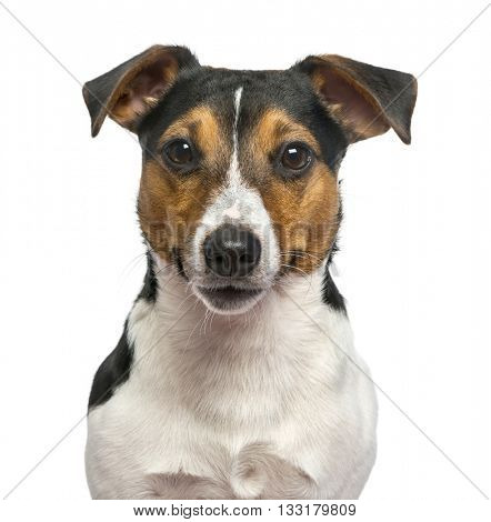 Close up of a Jack Russell Terrier isolated on white