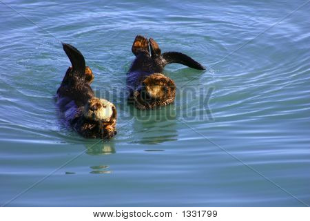 sea otters entertaining tourists in alaska near seward poster