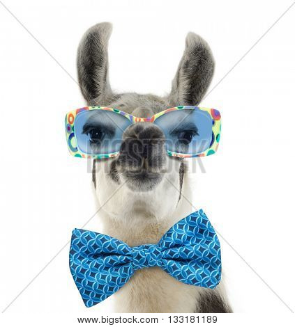 Portrait of a Lama - Lama glama wearing sunglasses, isolated on white