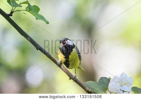 bird chickadee sings a song sitting on a blossoming branch in the spring in the Park