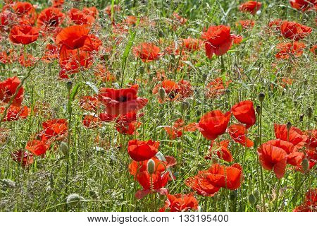 Red poppies on the meadow among the grasses. Meadow with beautiful poppies in sunny spring morning.