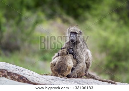 Specie Papio ursinus family of Cercopithecidae, baboons family in Kruger park, South Africa