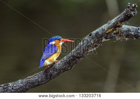 Specie Corythornis cristatus family of Alcedinidae, malachite kingfisher on a branch in Kruger park