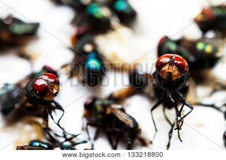 Flies Caught On Trap