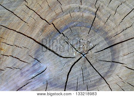 Cross section of a dried, cracked apricot tree