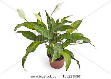 Spathiphyllum plant with flowers in flower pot, isolated on white background. Commonly known as Spath or peace lilies.