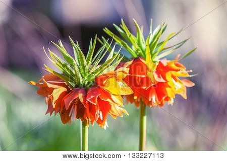 Two flowers imperial Fritillaria Fritillaria Eduardic Regel Crown imperial fritillary